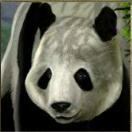 untamed giant panda panda