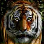 Untamed Bengal Tiger Slots Review