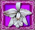 white orchid bonus