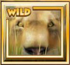 lions roar wild