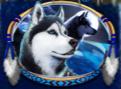 alaskan husky wild