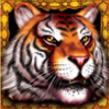 king tiger wild
